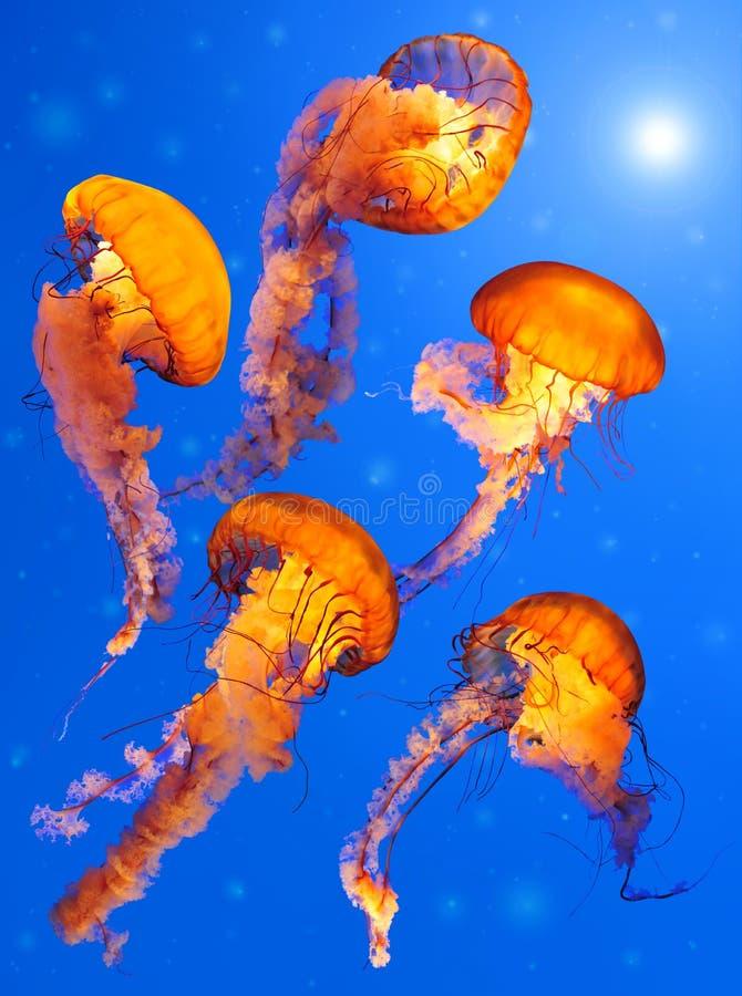 jellyfishes pokrzywy morze obrazy stock