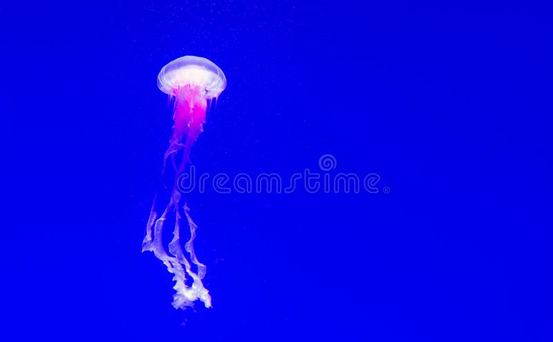 Jellyfishes Swimming In The Sea on Blue background royalty free stock image