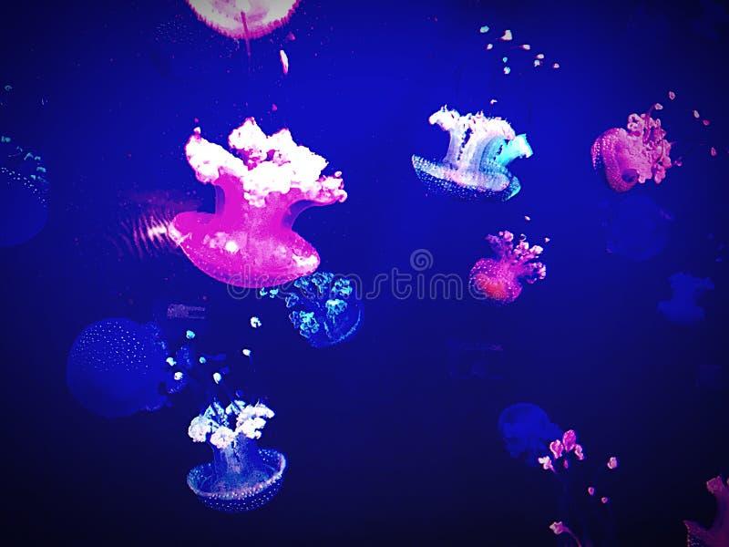 Jellyfishs和颜色 库存图片