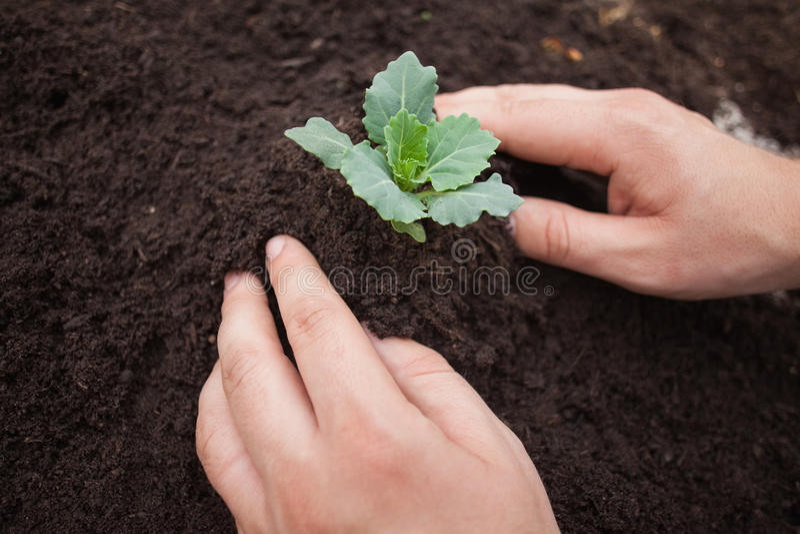 Jemand pflanzt einen Strauch stockfoto