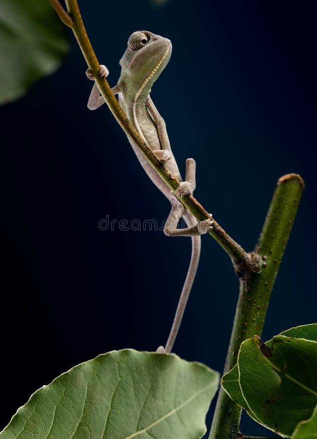 Jemen kameleon zdjęcie stock