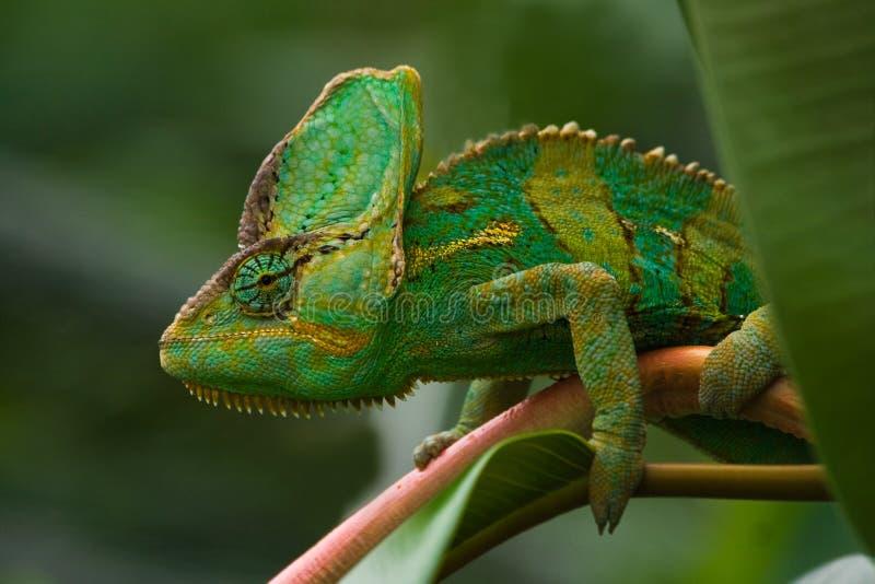 Jemenchameleon vert photo stock