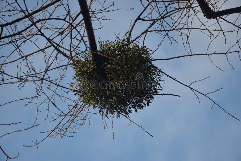 Jemioła na drzewie zdjęcie royalty free
