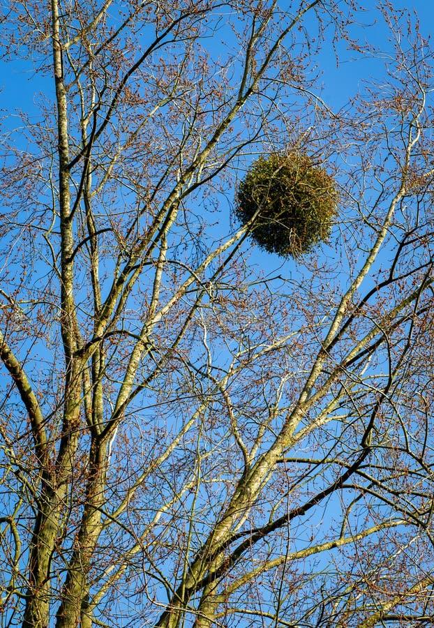 Jemioły piłka na Drzewnej Pasożytniczej roślinie obraz stock