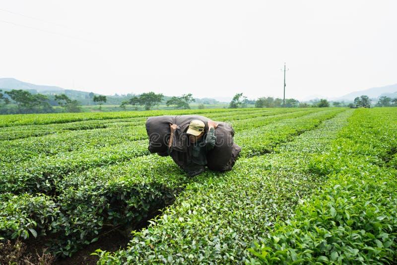 Jen Bai Wietnam, Sep, - 16, 2016: Pracownik pracuje na herbacianej plantaci w Van Chan okręgu obrazy royalty free