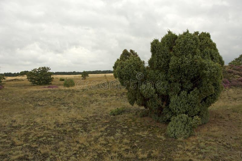 Jeneverbes, allgemeiner Wacholderbusch, Juniperus communis lizenzfreie stockfotos
