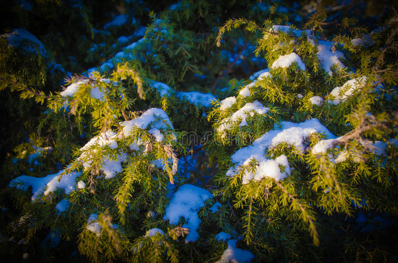 Jeneverbes in de winter royalty-vrije stock foto's