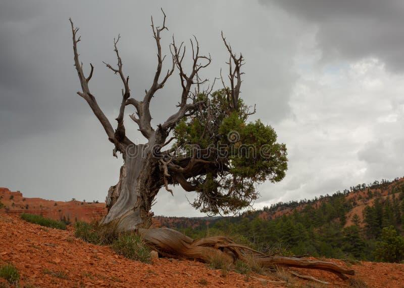Jeneverbessenboom het groeien in rode grond met een paar groene takken en sommige droge naakte takken die omhoog naar de bewolkte stock foto's