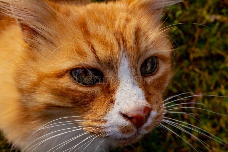 Jengibre bonito y cierre adulto blanco de la cara del gato para arriba imagenes de archivo