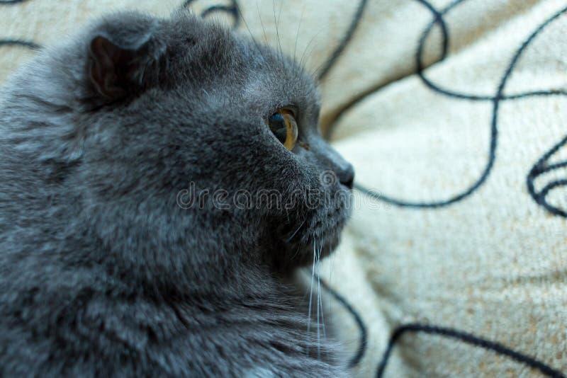Jengibre lindo bonito kitten' cara de s Foco selectivo cat' primer en el lado, doblez británico azul de la cara de s imágenes de archivo libres de regalías