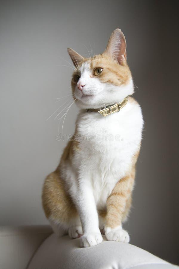 Jengibre lindo y gato blanco imagen de archivo