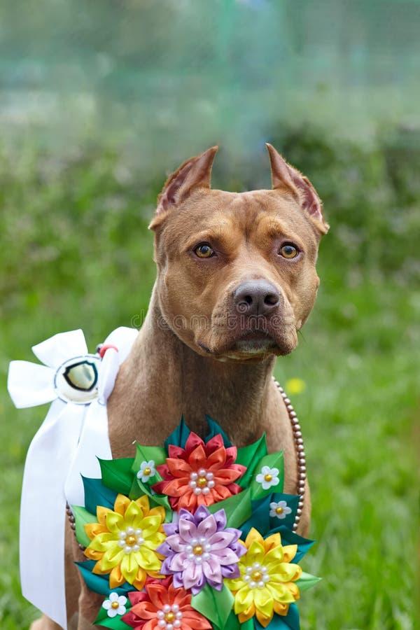 Jengibre rojo hermoso dof de la raza del terrier de PitBull del americano, hembra roja con las cintas de la demostraci?n y guirna imagenes de archivo