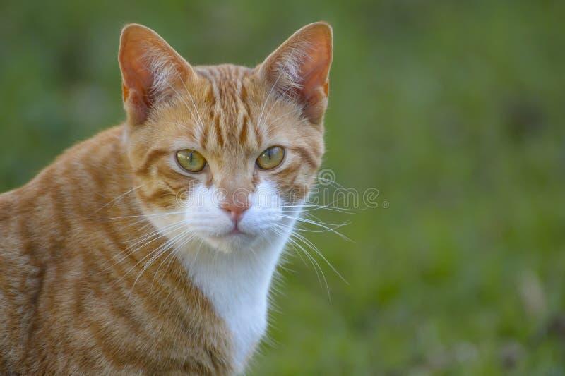 Jengibre y gato blanco, con los oídos verticales y los ojos grandes, mirando fijamente la cámara imágenes de archivo libres de regalías