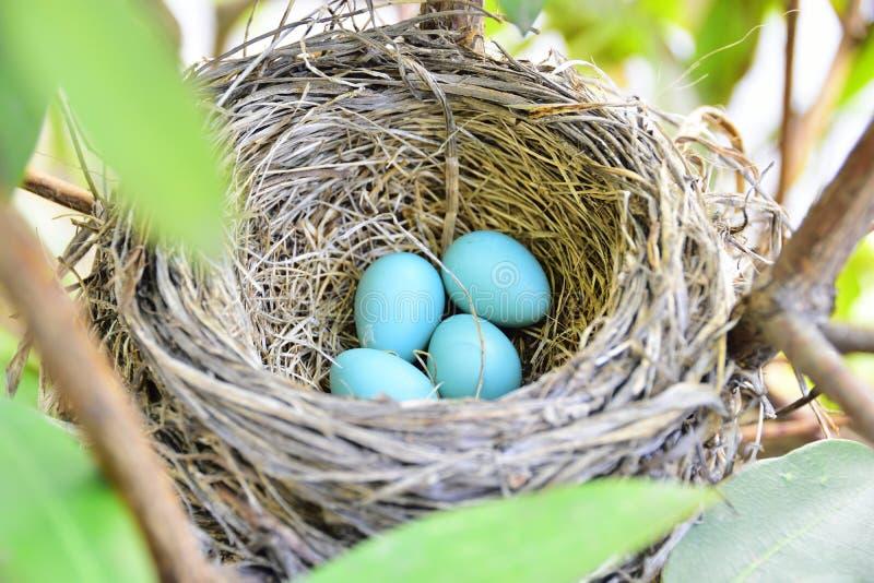 Jerarquía americana del petirrojo con 4 huevos azules fotografía de archivo libre de regalías