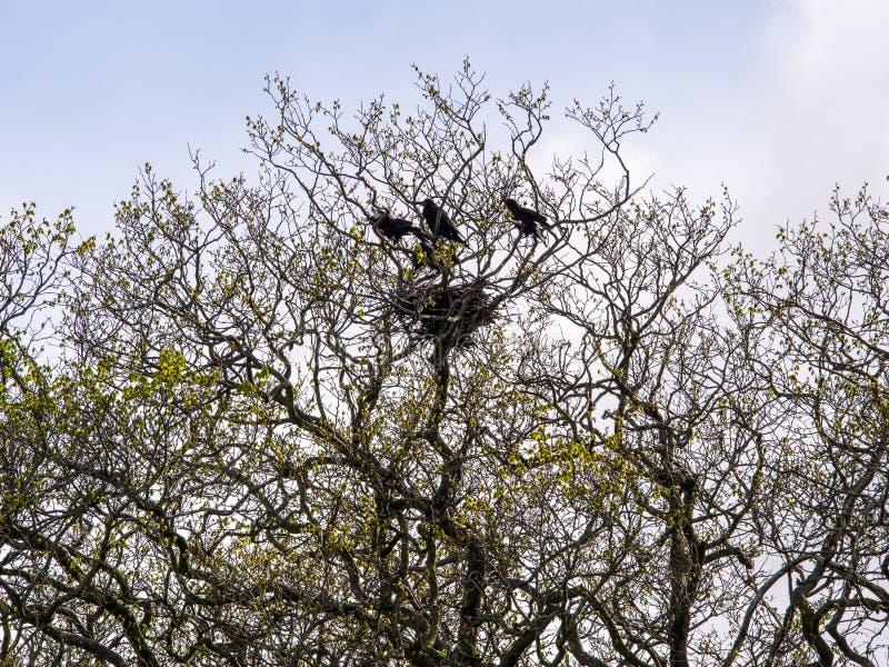 Jerarquía de cuervos fotografía de archivo libre de regalías