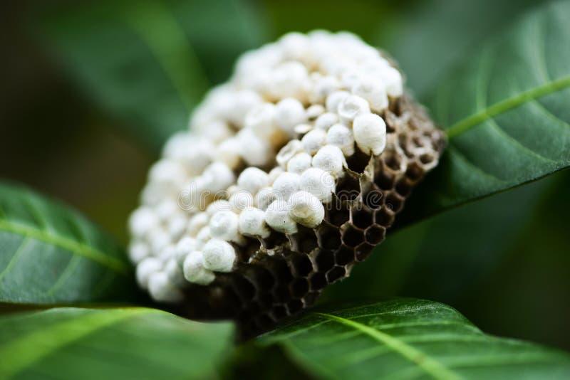 Jerarquía de la avispa en fondo de la naturaleza del árbol o jerarquía del avispón en las hojas con la larva - insectos salvajes imagen de archivo libre de regalías