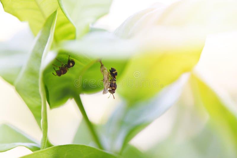 Jerarquía de la avispa en fondo de la naturaleza del árbol o jerarquía del avispón en las hojas - insectos salvajes imagen de archivo libre de regalías