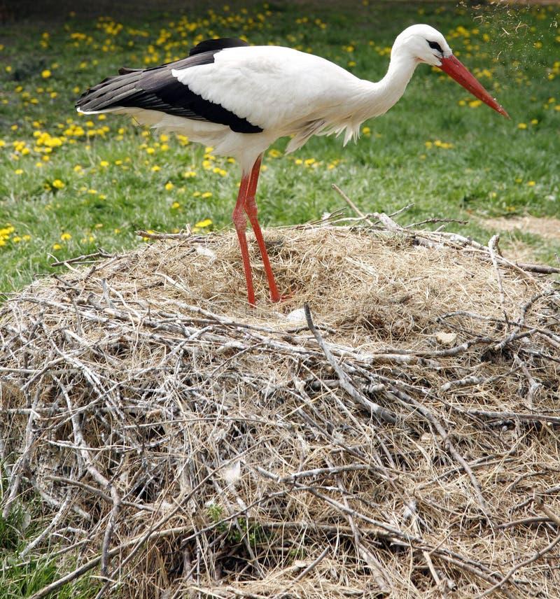 Jerarquía de la cigüeña en la granja en la ubicación rural con los huevos fotos de archivo libres de regalías