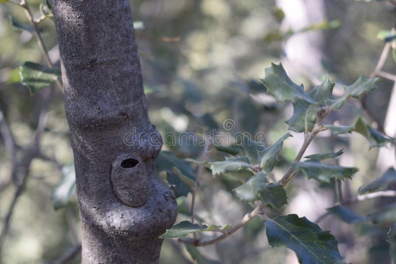 Jerarquía de un animal camuflado en el tronco de un roble imagenes de archivo