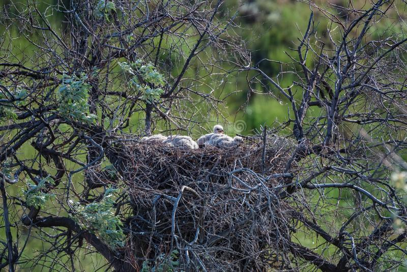 Jerarqu?a del rufinus zanquilargo del halc?n o del Buteo en ?rbol con los polluelos fotografía de archivo