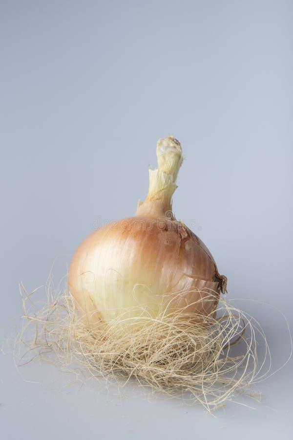 Jerarquía orgánica de la cebolla imagen de archivo libre de regalías
