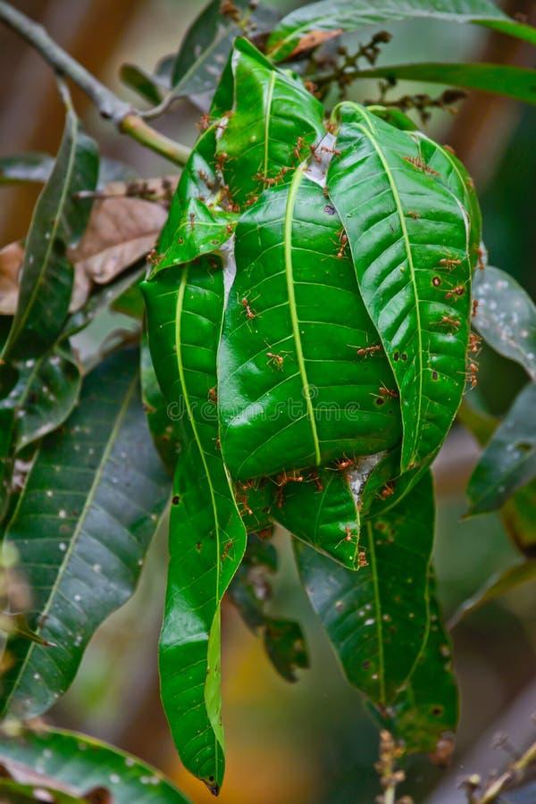 Jerarquía roja de la hormiga en árbol de mango imagen de archivo