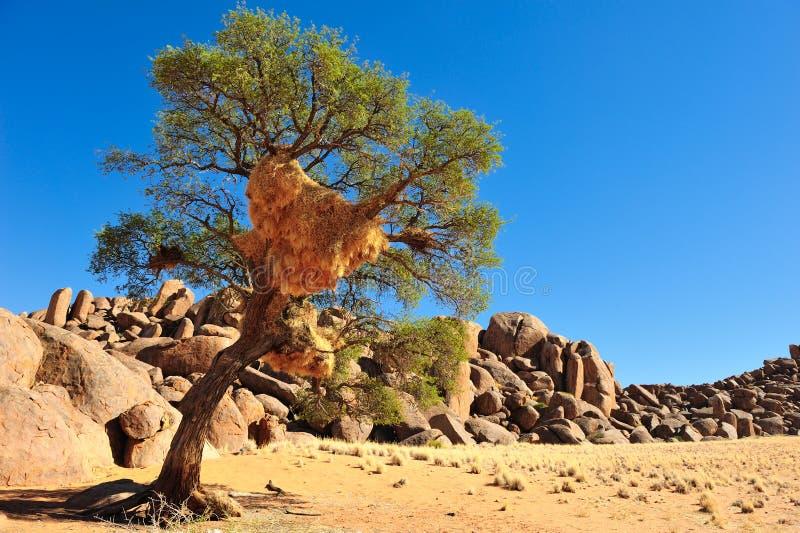 Jerarquía social del tejedor en un árbol (Namibia) fotos de archivo libres de regalías