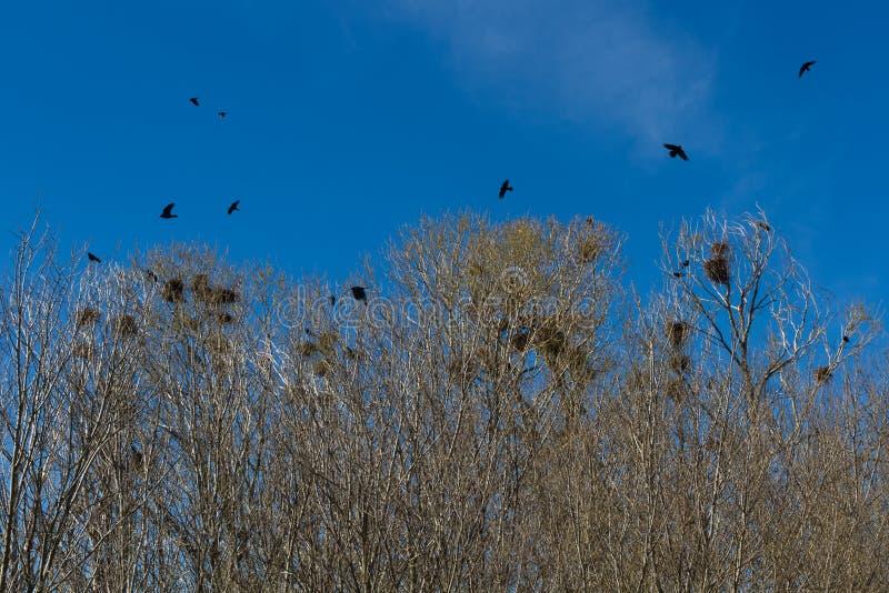 Jerarquías de cuervos o de grajos en arboleda imagen de archivo libre de regalías