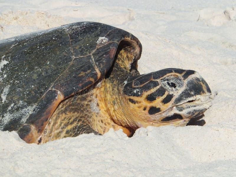 Jerarquización de la tortuga de Hawksbill foto de archivo libre de regalías