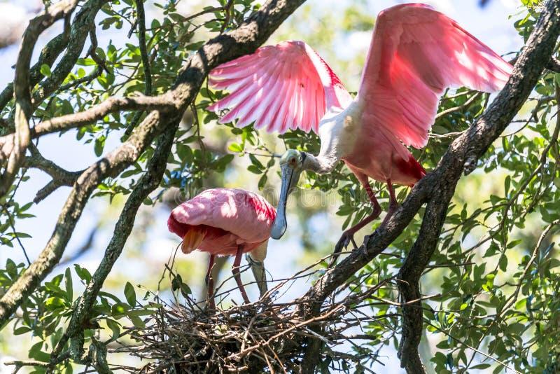 Jerarquización de los Spoonbills rosados imágenes de archivo libres de regalías