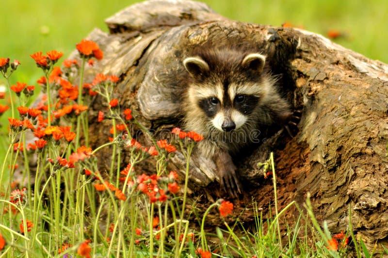 Jerarquización del mapache del bebé en un inicio de sesión un campo de wildflowers imágenes de archivo libres de regalías