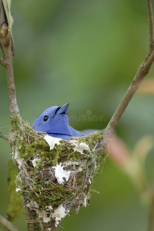 Jerarquización del pájaro (monarca negro-naped) en árbol imagenes de archivo