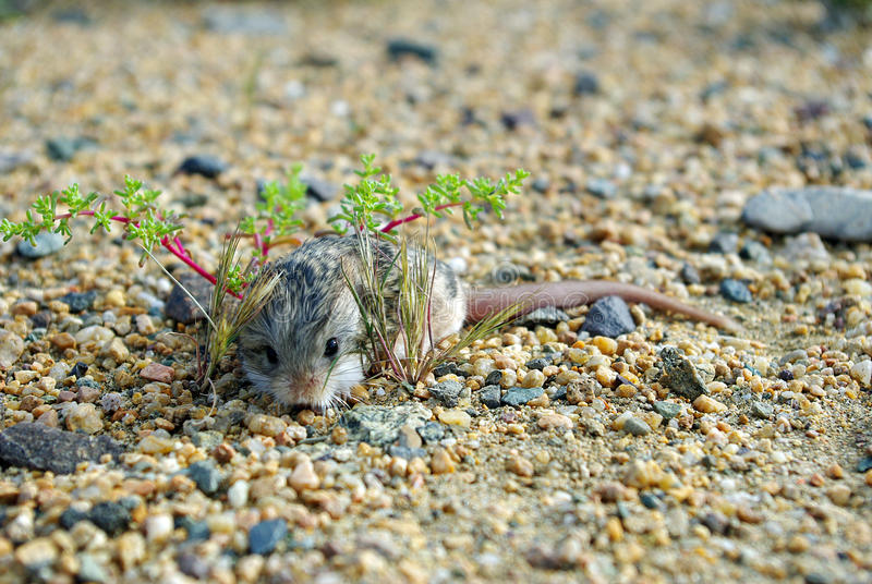 Jerboa photos stock