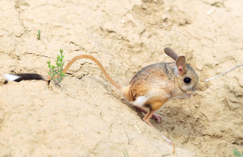 Jerboa grand, commandant d'Allactaga image stock