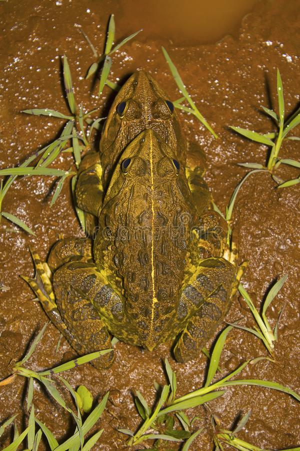 Jerdon's Bull Frog, Hoplobatrachus crassus. Kolhapur, Maharashtra, India stock photography