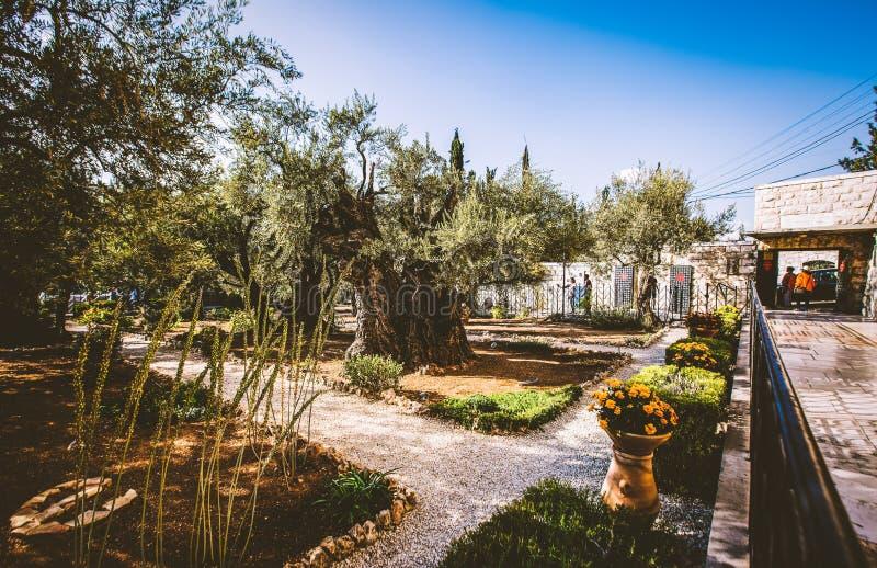 JEROZOLIMA, ISRAEL-OCTOBER 5, 2017: Ogród Gethsemane na górze oliwki w Jerozolima, Izrael fotografia royalty free