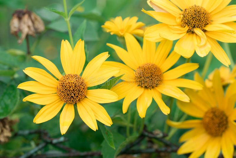 Jerozolimski karczoch, Helianthus tuberosus, sunroot, sunchoke, ziemski jabłczany kolor żółty kwitnie obraz stock
