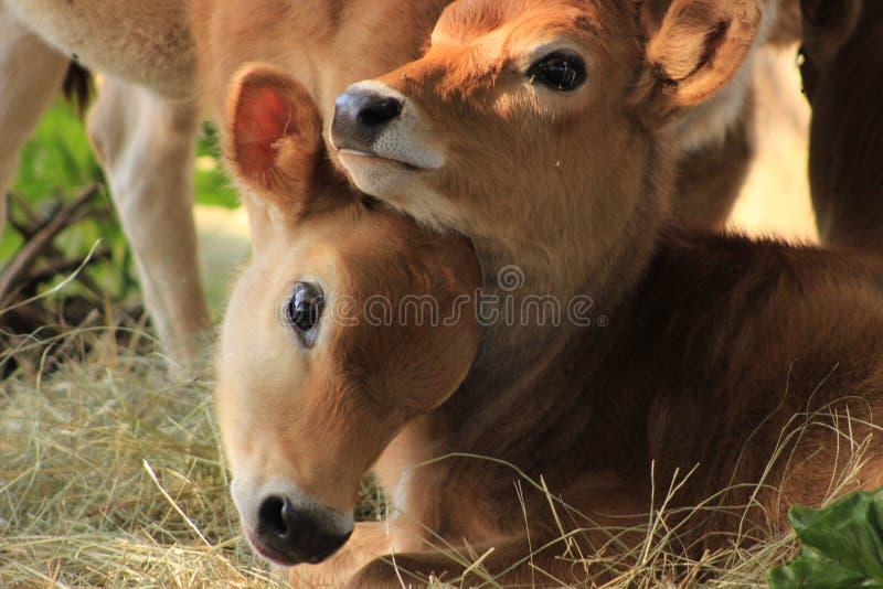 Jersey calves royalty free stock image