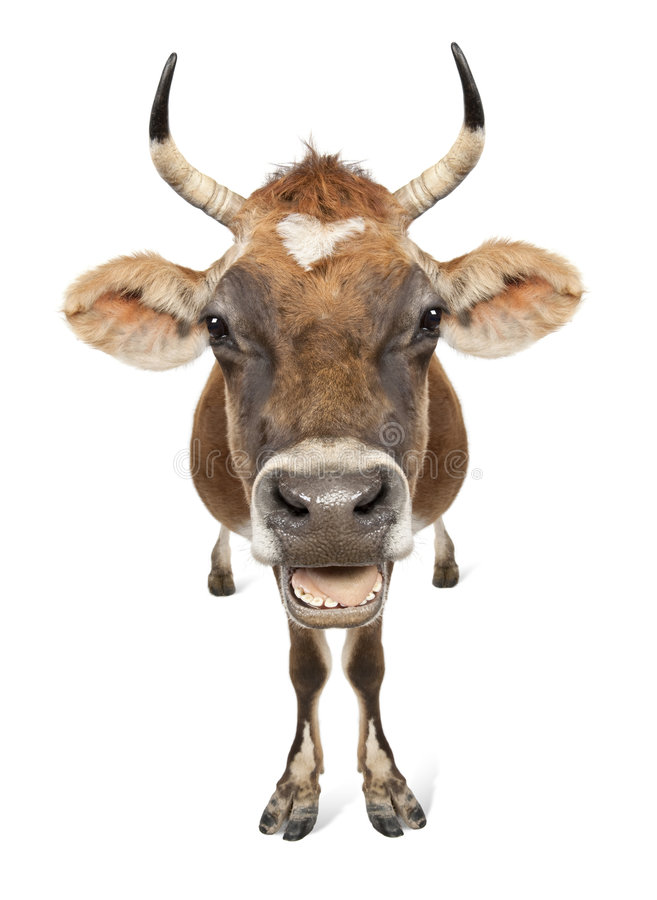 Jersey cow (10 years old). In front of a white background royalty free stock images