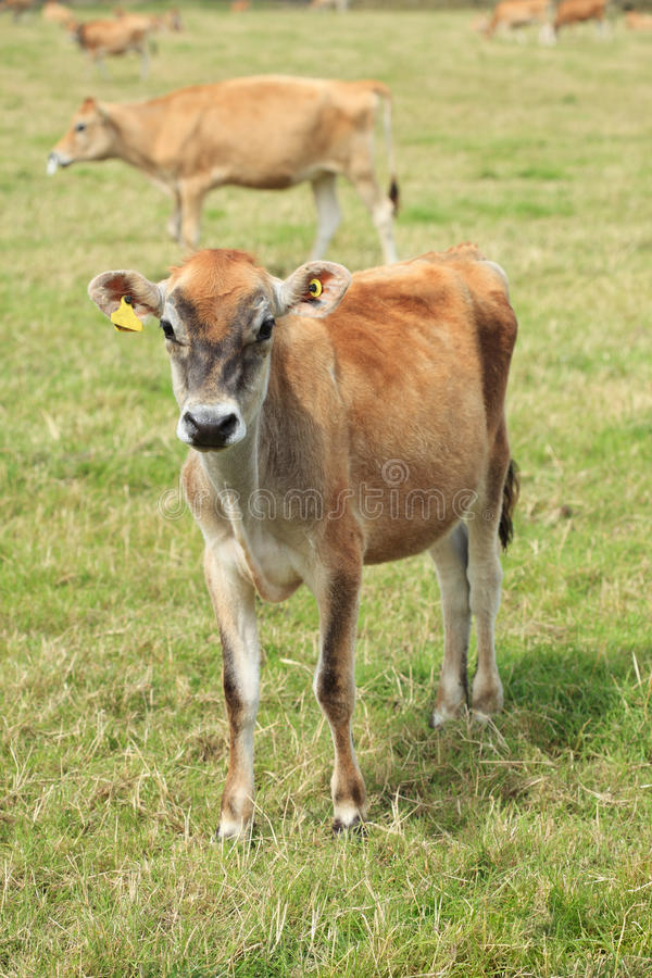 Download Jersey cow stock photo. Image of camera, jersey, agriculture - 10443288