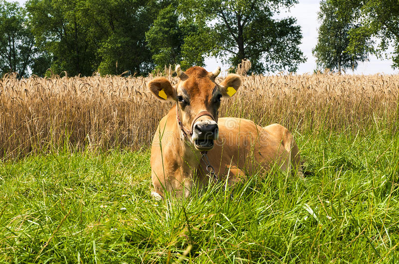 Download Jersey cow stock photo. Image of blue, nose, nature, background - 26788476