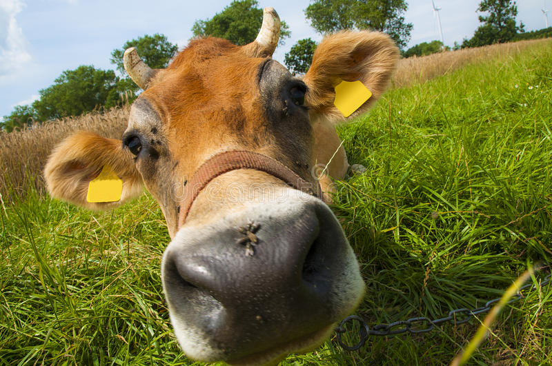Download Jersey cow stock image. Image of full, jersey, black - 26788539