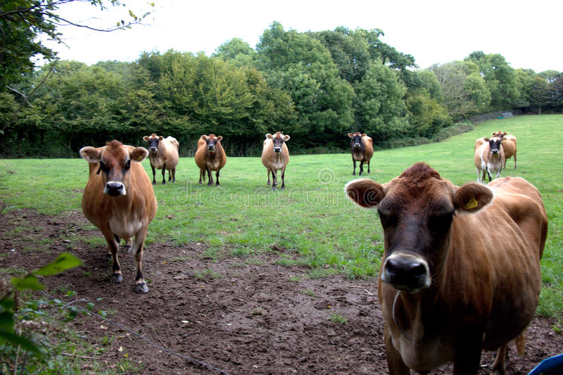 Jersey Cows Royalty Free Stock Images