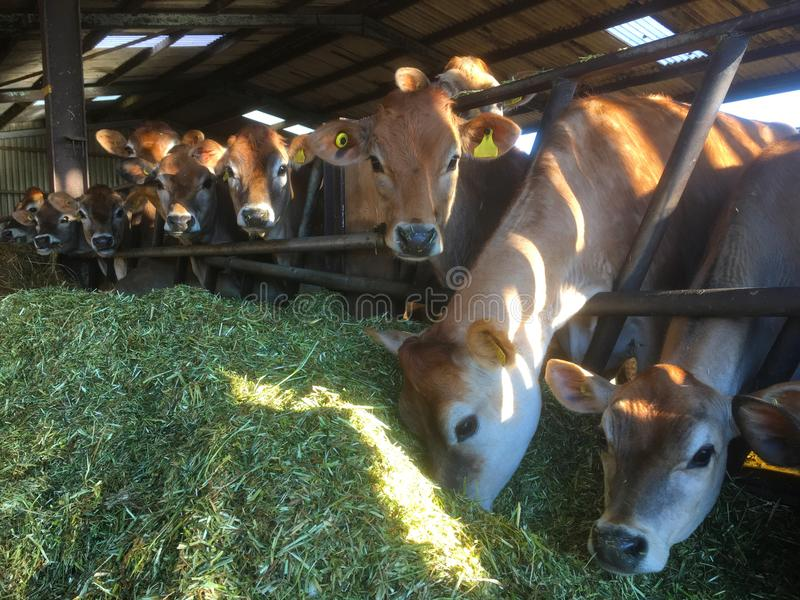 Jersey Cows eating grass silage, Jersey, United Kingdom stock photos