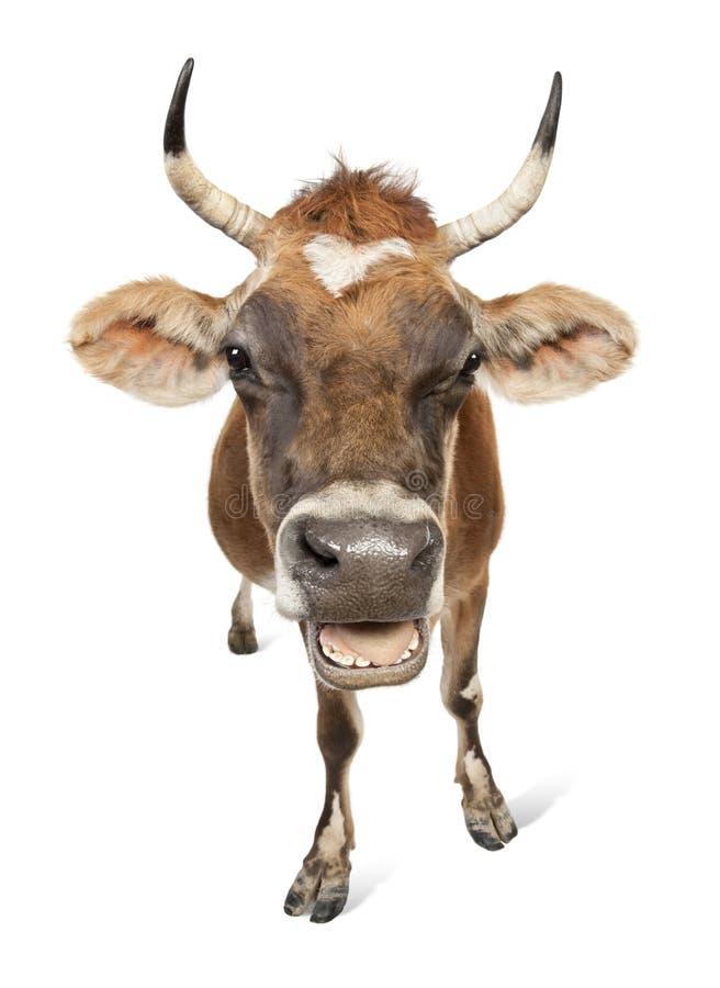 Jersey-Kuh (10 Jahre alt) stockfotos