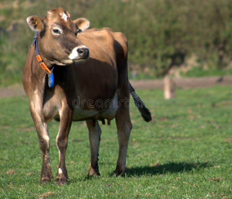 Jersey-Kuh lizenzfreies stockfoto