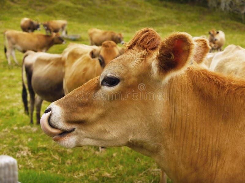 Jersey-Milchkühe, Vieh lizenzfreies stockfoto