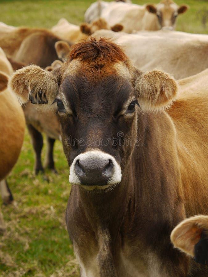 Jersey-Milchkühe, Vieh lizenzfreie stockfotografie