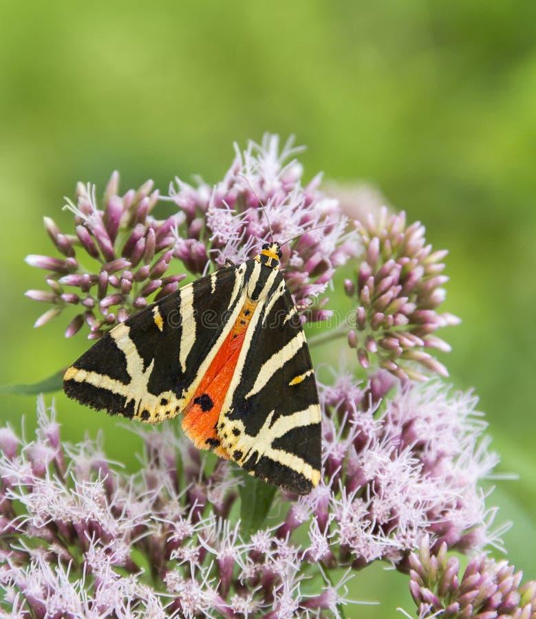 Jersey Tiger Butterfly imagen de archivo