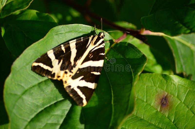 Jersey Tiger Moth onbeweeglijk in de zon royalty-vrije stock foto